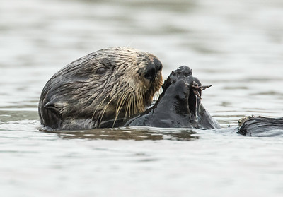 Otter lunch, Moss Landing