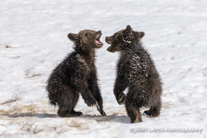 I'm a Big Scary Grizzly