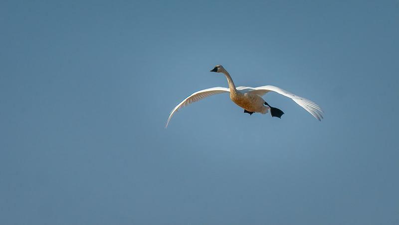 Tundra Swan in Flight 5505