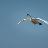 Tundra Swan in Flight 5505