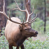 Bull Elk, Grand Canyon National Park, Arizona