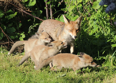 A Fox with her cubs in a South London Garden