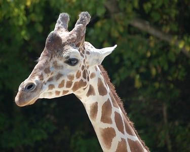 Giraffe, Memphis Zoo