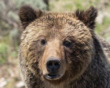 Closeup Grizzly Sow Portrait