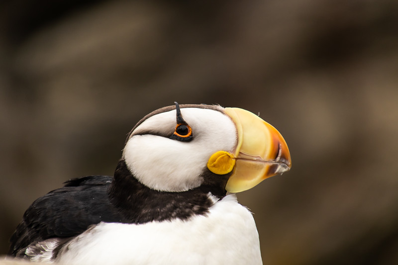 Closeup sideview of head of a Horned Puffin seabird