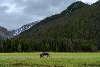 Bull Moose in Rocky Mountain National Park