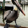 Pelican at port