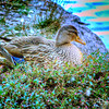 Willowbrook Park Lake - Mother Duck