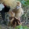 Baby East African Crowned Cranes