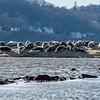 Harbor Seals at Sandy Hook Beach 1/12/17