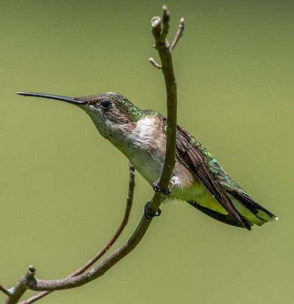 Ruby-Throated Hummingbird 6/26/18