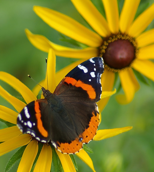 Red Admiral, IN