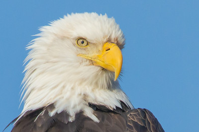 Eagle Portrait; Color