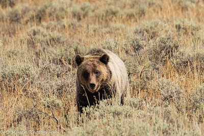 Facing the Grizzly bear