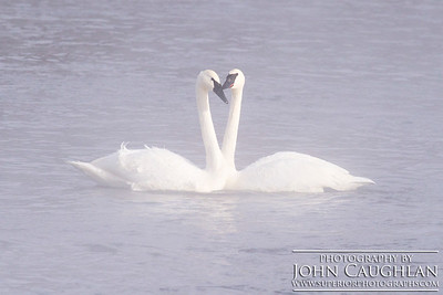 Swans(steam1p)