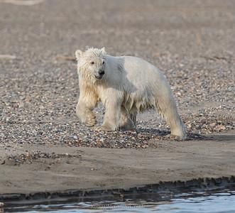 Polar Cub after a Swim