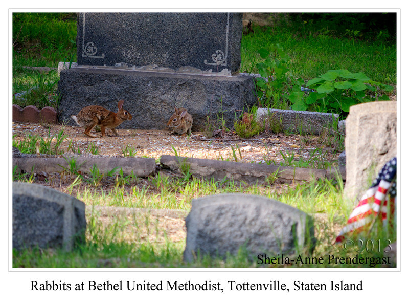 Rabbits at Bethel United Methodist, Tottenville, Staten Island