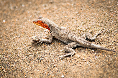 Lava Lizard - Isla Genovesa