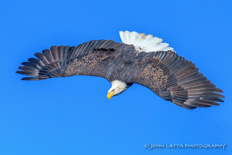 Diving Eagle