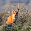Sneaky Red Fox