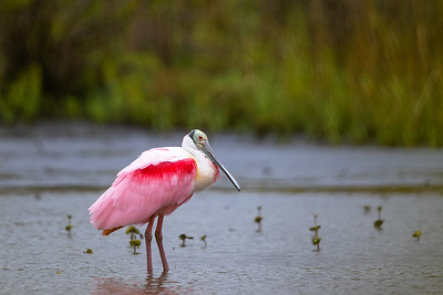 Spoonbill in some Sprinkles