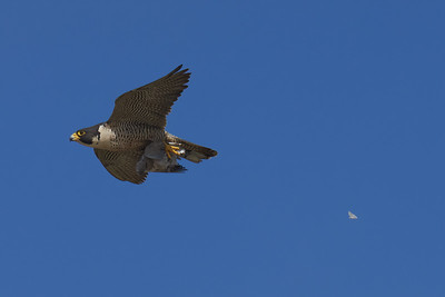 Peregrine Falcon with Dinner for Babies