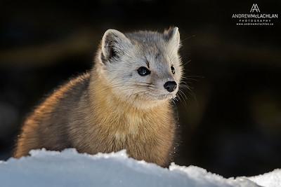 Pine Marten (Martes americana), Algonquin Provincial Park, Ontario