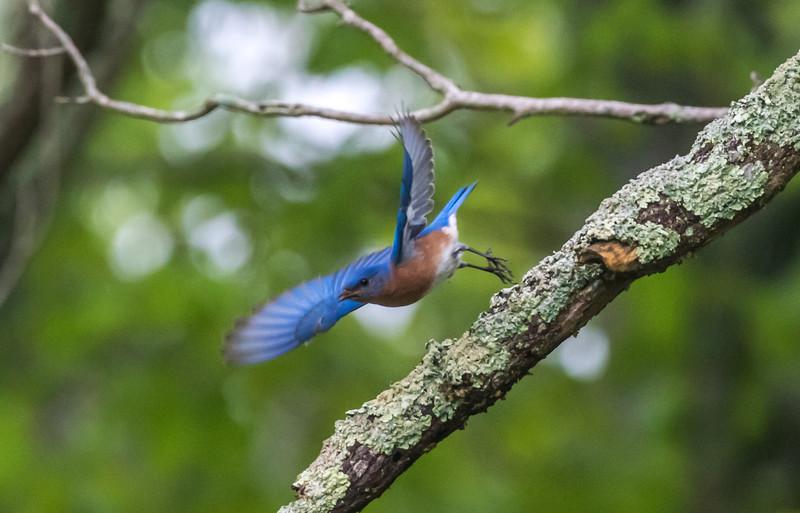 Blue Bird Taking Off 5/23/18