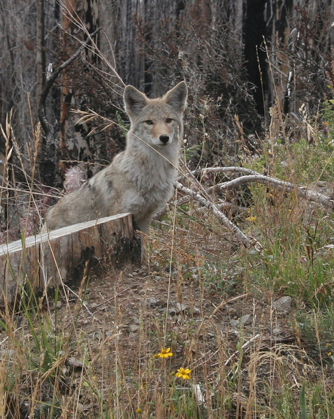 Coyote - Yellowstone Lake Area, Yellowstone National Park