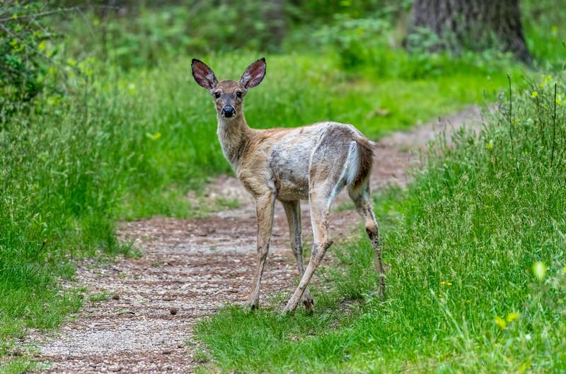 White-Tailed Deer 5/22/18