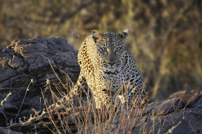 Leopard at Sunrise, Samburu National Park, Kenya, East Africa