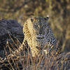 Leopard at Sunrise, Samburu National Park, Kenya, East Africa