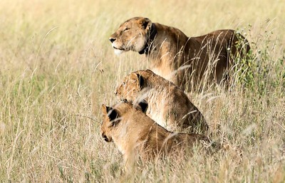 Lions on the lookout