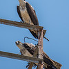 A Pair of Ospreys Perched on Tower 6/7/16