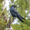 Raven Perched on Lodgepole Pine