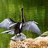 Anhinga on Turtle
