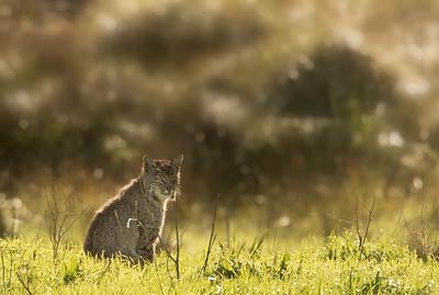 Bobcat, Pt Reyes