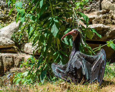 Northern Bald Ibis praying for cooler weather