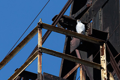 Peregrine Falcon Perched on Steel Stacks