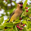 Cedar Waxwing Eating Berries 6/7/17