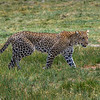 Leopard coming through the marsh on his way to higher ground, Ndutu, Tanzania, East Africa