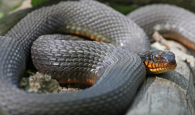 Copperbelly Watersnake, MI