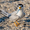 Least Tern with Fish 6/18/16