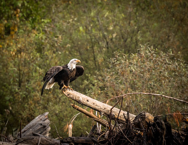 Kootenay Bald Eagle 3