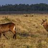 Waterbucks (Kobus ellipsiprymnus), Masai Mara, Kenya, East Africa
