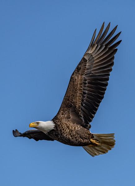 Bald Eagle in Flight 1/25/19