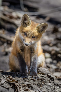 Red Fox (Vulpes vulpes) kit
