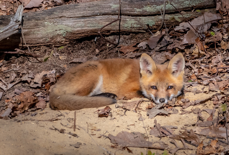 A Red Fox Kit 5/5/20