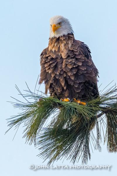 Fluffed-Up Bald Eagle