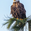 Fluffed-Up Bald Eagle